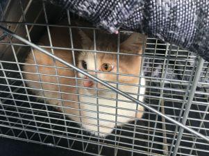 Cannelle est une minette sauvageonne trappée, stérilisée et soignée par Animaux Séniors avant d'être libérée dans le jardin d'une bienfaitrice. Elle pourra vivre maintenant sans s'épuiser à faire portée sur portée.