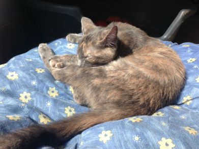 Isabelle, petite chatonne née à l'association d'une minette trappée dans un parking désaffecté... la maman a mis bas dans les 24H ! Isabelle a été adoptée avec sa sœur Titigri.
