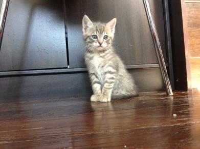 Titigri, petite chatonne née à l'association d'une minette trappée dans un parking désaffecté... la maman a mis bas dans les 24H ! Titigri a été adoptée avec sa sœur Isabelle.
